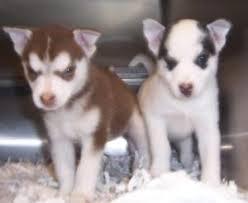 the 25 best husky pom ideas on pinterest pomsky dog for sale