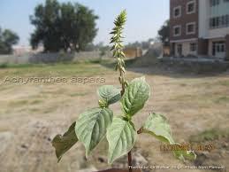 ephedra plant wikipedia medicinal plants achyranthes aspera apamarga nayuruvi chirchita