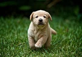 bluetick coonhound labrador retriever mix for sale labrador retriever puppies for sale akc puppyfinder