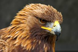20 different types of eagles with pictures golden eagle bird
