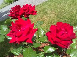 deadheading roses u2013 natural greenscapes