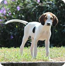 bluetick coonhound puppies for sale doc snow white adopted puppy largo fl treeing walker
