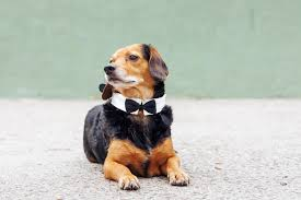 Dog Wedding Dress These Tiny Dogs Are Getting Married And Everyone U0027s Invited