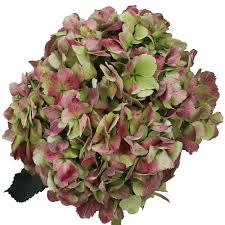 Bulk Hydrangeas Antique Green Hydrangea Associated Cut Flower Co Inc Fl Product