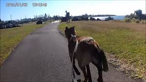 belgian shepherd qld see you later maligator belgian malinois urban mushing bikejoring