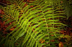 Free Picture Leaf Nature Fern Free Images Nature Flower Jungle Botany Flora Green Plant