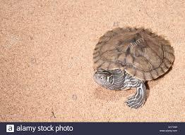 Texas Map Turtle Mississippi Map Turtle Graptemys Pseudogeographica Kohni Native
