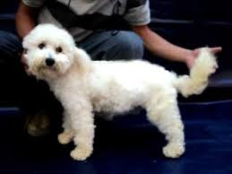 poodle vs bichon frise bichon frise macho 5 meses venta méx d f tel 84885050 youtube