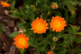 Yellow Orange Flowers - top 6 flowers best grown from seed sown right into the soil