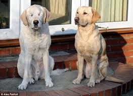 Dogs Helping Blind People Guide Dog Aids Blind Owner And Former Leading Labrador After He