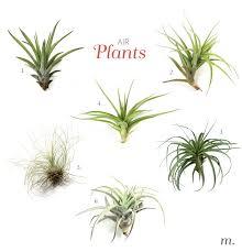 Air Plants Air Plants U2013 Megan U0027s Moments