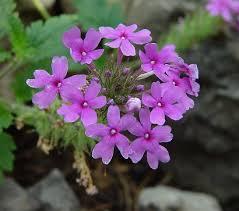 verbena flower verbena canadensis page