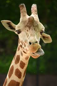 best 25 giraffe facts ideas on pinterest facts about giraffes
