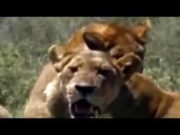 imagenes de leones salvajes gratis documental de animales salvajes leones vs leopardos documentales