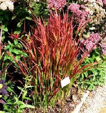 46 best plants images on perennial plant drought