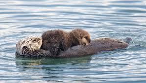 sea otter wikipedia