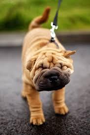 best 25 sharpei dog ideas on pinterest shar pei dog shar pei