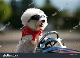 bichon frise funny bichon frise dog wears her red stock photo 37133080 shutterstock