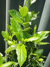 bay bay baby baby bay tree landsdale plants