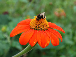 echinacea flower file bumblebee on echinacea flower jpg wikimedia commons