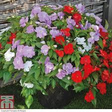 busy lizzie plants thompson u0026 morgan