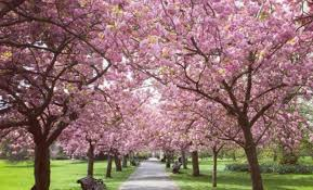 huge cherry blossom tree tunnel coming to toronto next year