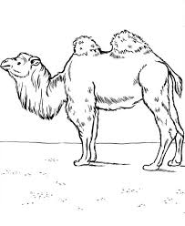 bactrian camel coloring page free printable 17975