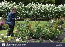 judge assesses new roses in dugald mackenzie rose garden home of