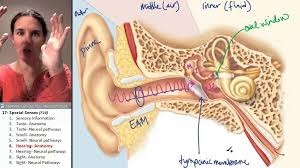 Ear Anatomy Pictures Special Senses 6 Ear Anatomy Youtube