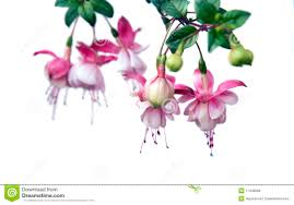 What Goes With Pink Garden Design Garden Design With Fuchsia U Beautiful Bellshaped