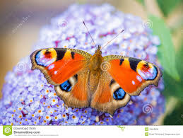 butterfly stock photos images u0026 pictures 144 444 images