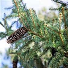 blue spruce colorado blue spruce tree on the tree guide at arborday org