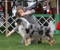australian shepherd 101 dogs 101 australian shepherd video animal planet i want one
