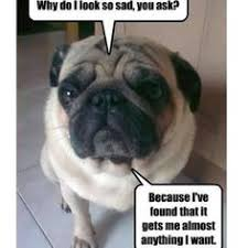 Sad Pug Meme - all pugs learn this trick within one day of potty training attempts