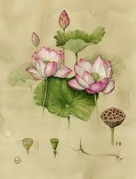 Lotus Flower Parts - waterlillies inspiration dissect a flower then draw the