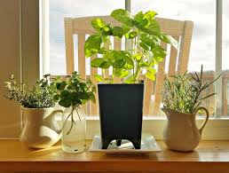 indoor herbs to grow growing herbs indoors kellogg garden products
