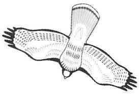 redtailhawk jpg