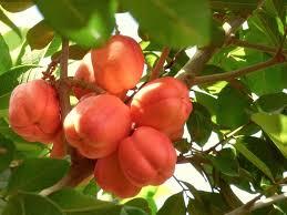 Ackee Fruit Tree - cottage life on pilgrim u0027s farm ackee fruit and eggs on the counter