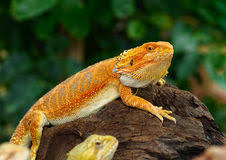 german giant bearded dragon stock photos images u0026 pictures 12