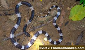 common snakes frequently found in thailand thailandsnakes com