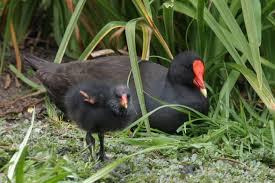 australian native plants perth water birds birds in backyards