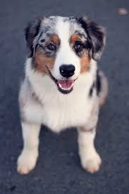 australian shepherd pictures best 25 aussie dogs ideas on pinterest mini aussie mini aussie