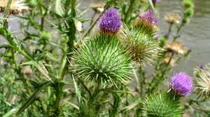 weed control how do i remove dandelions and bull thistle from my