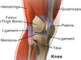 Ankle Anatomy Ligaments Lateral Collateral Ligament Anterior Cruciate Ligament Lateral
