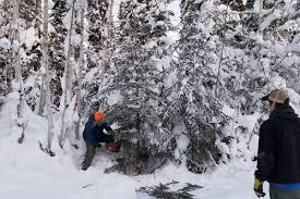 how to harvest your own tree in alaska anchorage daily