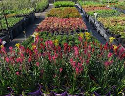 gondwana wholesale native plant nursery australia 28 plant nursery wholesale pot plant nursery supplier plant