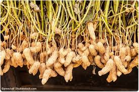 Root Vegetable Allergy - tackling food allergies is immunotherapy the answer