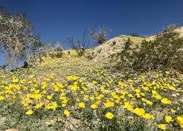 Flowers Anza Borrego The Slot Anza Borrego Desert State Park U0026 Hawk Canyon U2013 Travels