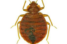 What Do Exterminators Use To Kill Bed Bugs Is Bed Bug Heat Treatment Effective Terminix