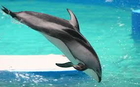 Male Dolphin Anatomy Pacific White Sided Dolphin Lagenorhynchus Obliquidens Dolphin